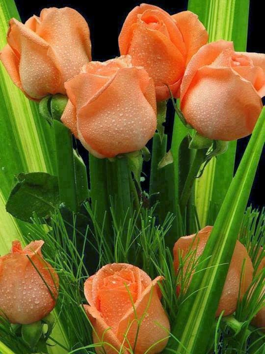 Beautiful Rose In Orange Colour Free Download For Android