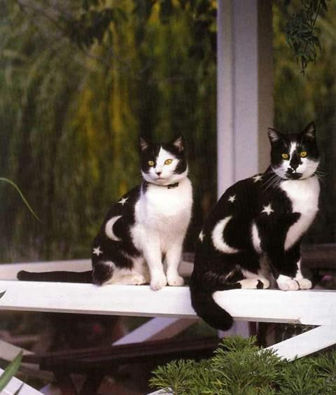 tuxedo kitten pictures