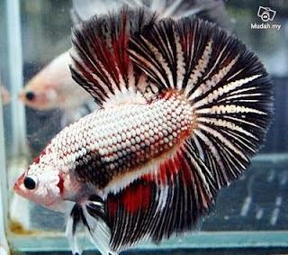 gambar ikan cupang jagoan