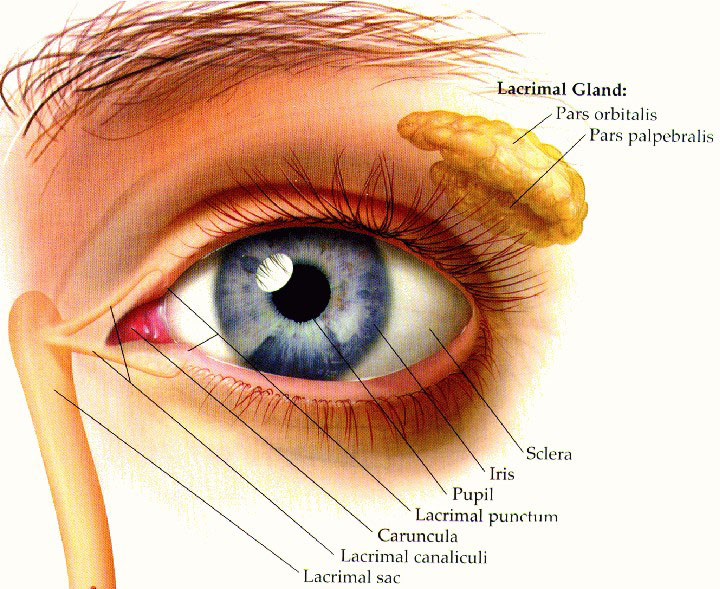 Eye anatomy tear duct