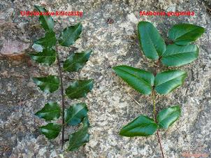 Trujący ostrokrzew a niegroźna mahonia – jak rozróżnić