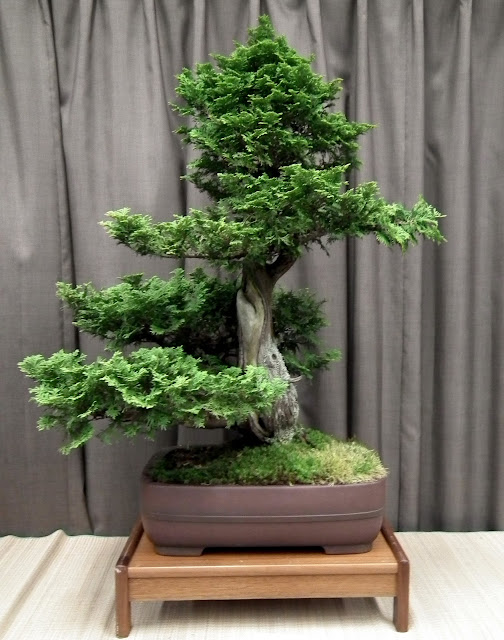 Thuja Bonsai at Taguchi Bonsai Show 2011