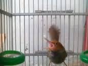 Tips Perawatan Burung Prenjak, burung prenjak harus di rawat dengan telaten dan teratur, Membahas tentang, Tips Merawat Prenjak Kepala Merah Agar Cepat Gacor-Cara Merawat Prenjak Rajin Bunyi Dan Ngebren- DAN - Hal Yang Wajib Di Perhatikan Dalam Perawatan Harian. Baca sampai selesai semoga bermanfaat.   Tips Perawatan Sederhana Burung Prenjak : Berikan tenggeran ranting agar leluasa saat berkicau dan bercanda dengan pasangannya Peliharalah dengan kandang sekat bersama yang betinanya   Berikut Ini Tips Merawat Prenjak Kepala Merah Agar Cepat Gacor : Perawatan awal Burung Prenjak Jika anda mendapatkan burung prenjak kepala merah dari alam liar, maka akan mudah stress. Untuk itu anda harus membuatnya nyaman dan tenang agar terhindar dari stress. Misalnya, jangan langsung memandikannya, jangan digantang/digantung di tempat yang ramai, dan lain-lain. Cara perawatan prenjak kepala merah liar pada dasarnya sama dengan cara merawat burung kicau lain yang masih liar, dan anda bisa baca selengkapnya di sini.  Pemberian Pakan Burung Prenjak Prenjak kepala merah di habitat aslinya memakan ulat, serangga-serangga kecil, laba-laba, kroto. Nah, jika anda membeli prenjak kepala merah yang belum ngevoer anda bisa menyiasatinya agar prenjak mau makan voer. Caranya campurkan voer dan kroto dengan porsi voer lebih banyak daripada kroto. Kurangilah porsi kroto dari hari ke hari sampai prenjak kepala merah mau makan voer murni. Itu artinya prenjak sudah mau makan voer dan kroto. Jadi anda bisa memberikan voer dan kroto dalam wadah yang berbeda. Kroto bagus untuk membuat prenjak kepala merah lebih gacor, sedangkan voer dapat mencukupi kebutuhan kalsium, vitamin, dan nutrisi bagi prenjak kepala merah.  Pembrian Extra Food (EF) Burung Prenjak Extra food prenjak kepala merah yang baik agar cepat gacor adalah jangkrik dan ulat hongkong. Untuk jangkrik, berikan 3 ekor setiap pagi dan 3 ekor setiap sore, tetapi berikanlah bagian perutnya saja. Kaki dan kepala dihilangkan dulu. Sedangkan untuk ul
