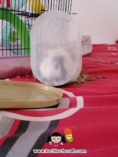 guinea pig cute eating