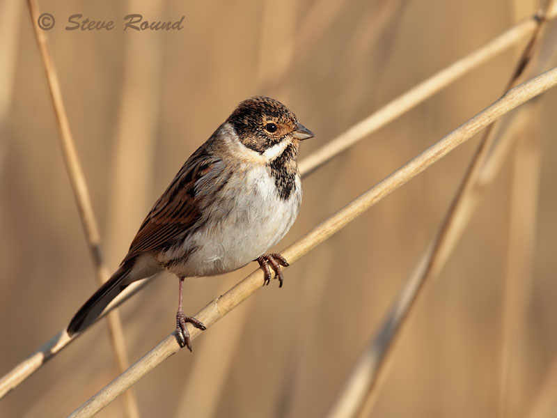 reed bunting, bird, nature, wildlife