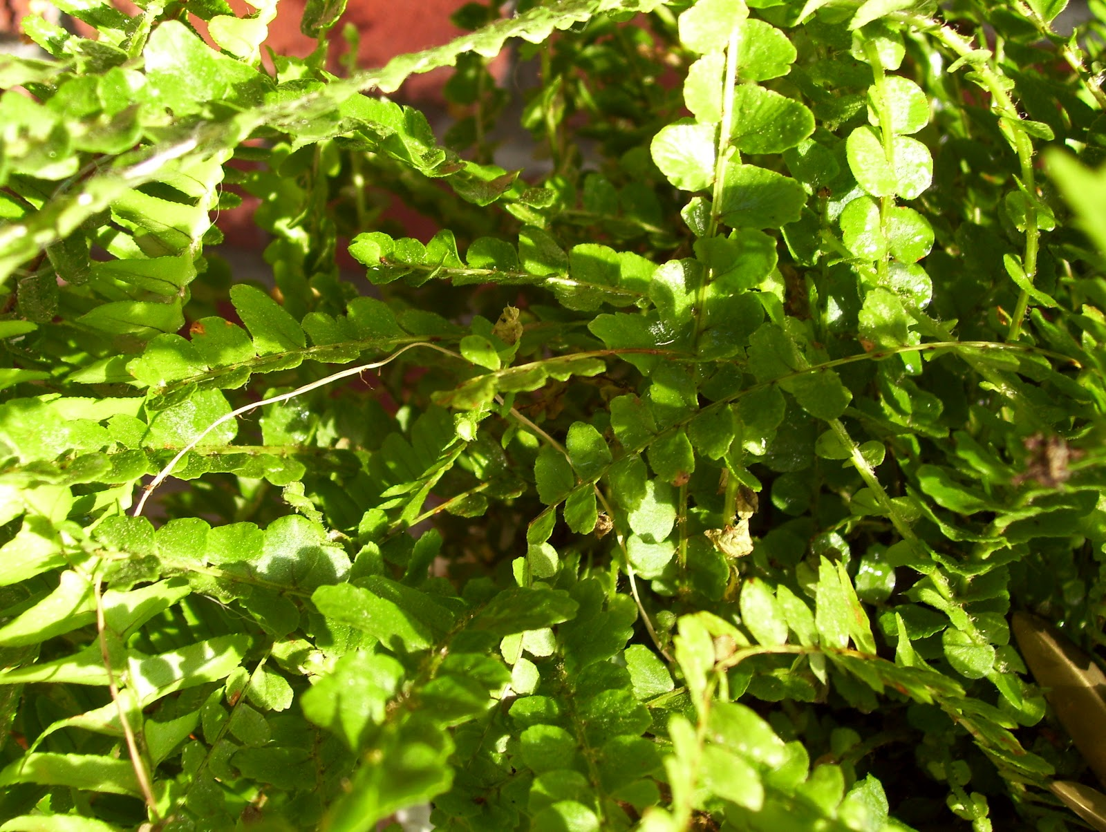 Opossum In The Attic Ferns My Favorite House Plant