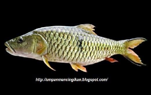 resep umpan, umpan ikan palung, rahasia umpan, Macam-macam Teknik Mancing, ampuh, Mancing Ikan Palung, Ikan Palung, Ikan Hampala, umpan jitu mancing ikan Hampala, Umpan Jitu Mancing Ikan Palung,