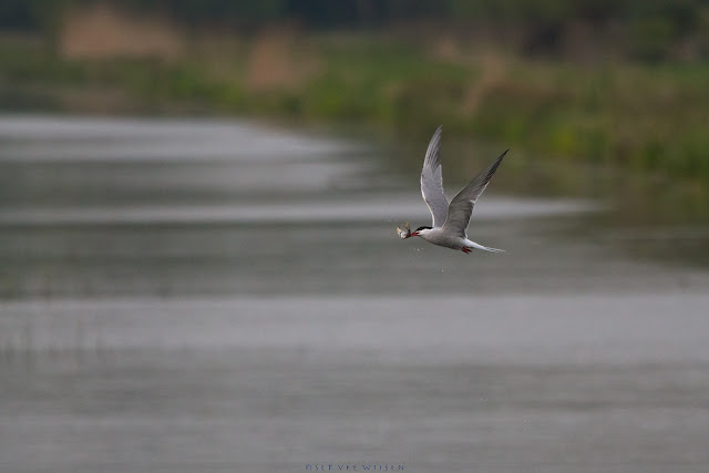 Visdief met visje - Common Tern with fish