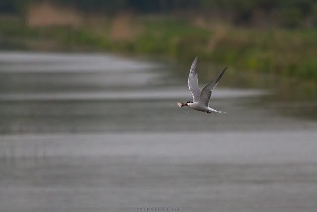 Visdief met visje - Common Tern with fish
