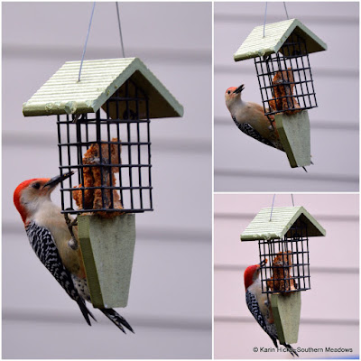 Red-bellied woodpecker at suet feeder