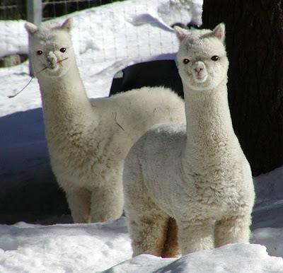 Funny Cute Llama