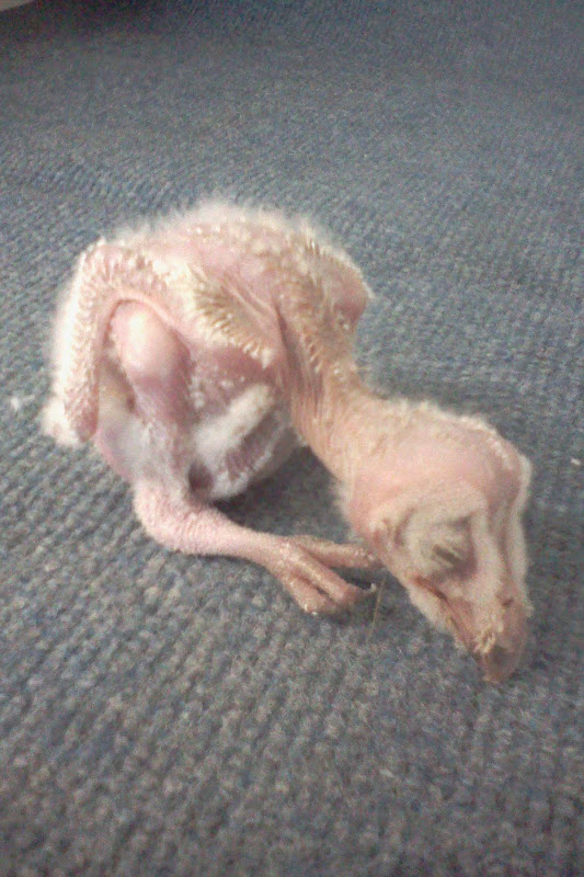 World bird sanctuary barn owl chick feathers for What owls look like without feathers