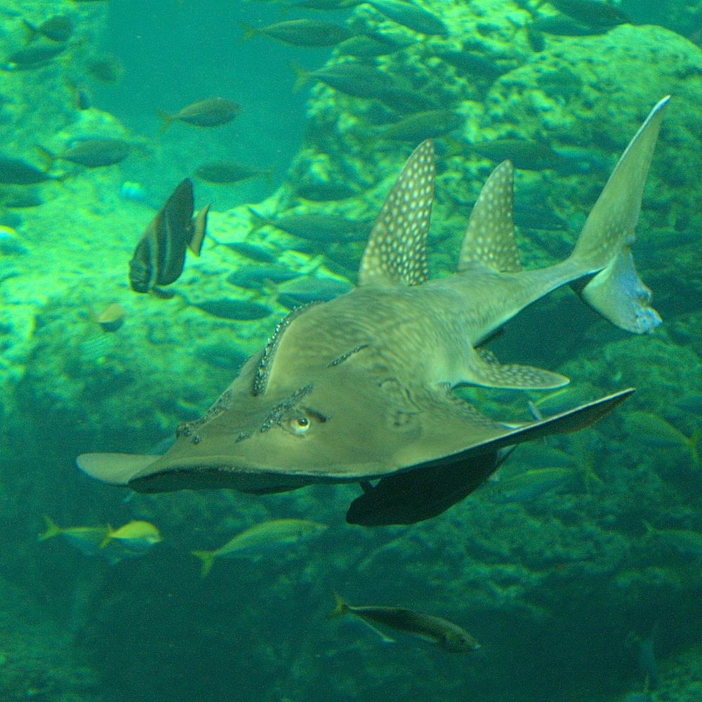 Fish Index: Bowmouth Guitarfish (Rhina ancylostoma)