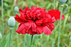 The Ruffly Red Poppy