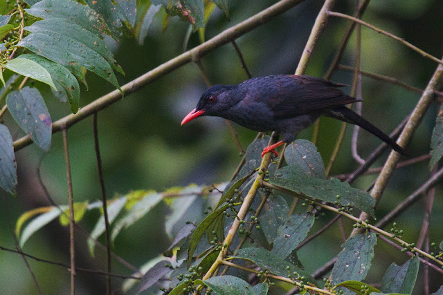 A photograph of a Black Bulbul taken in Sinharaja, Sri Lanka