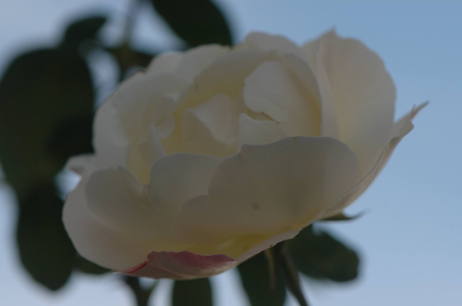 Rosa viva...