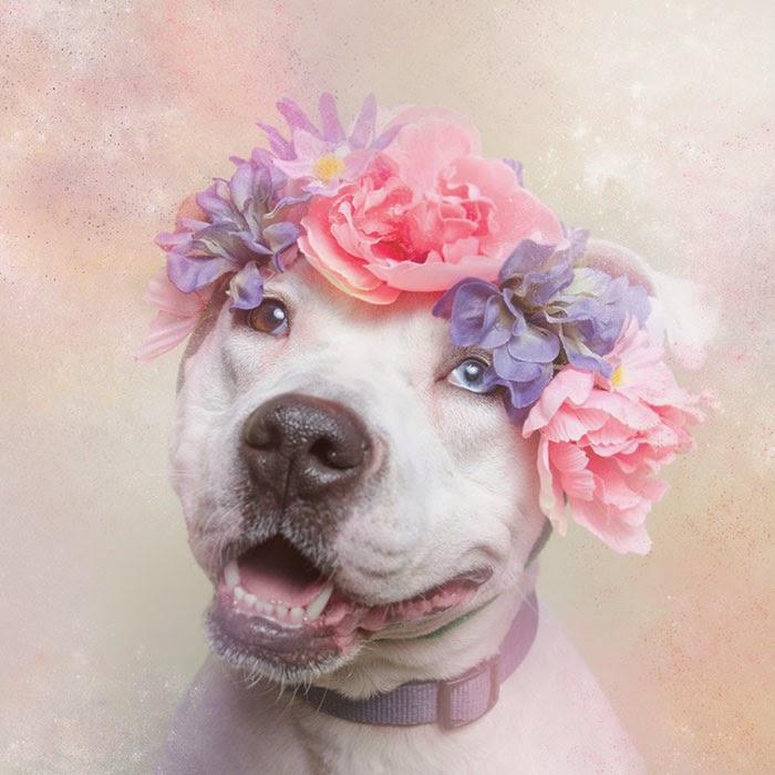 pitbulls con corona de flores