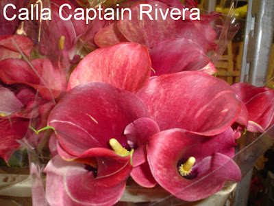 Calla Captain Rivera pic