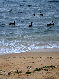 swans in the ocean... say whut!?