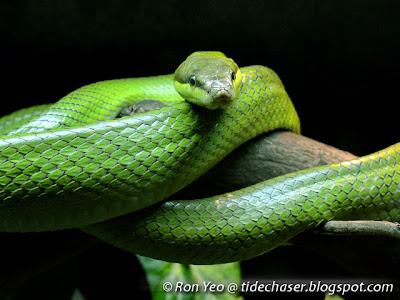 Red-tailed Racer (Gonyosoma oxycephalum)