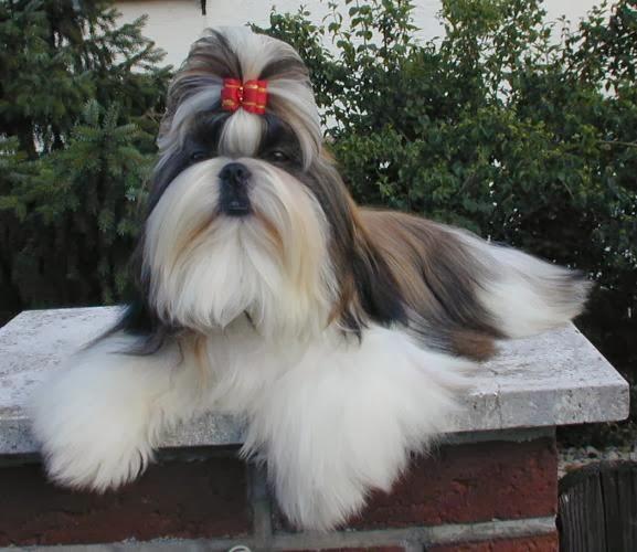 Perros chizu - Imagui