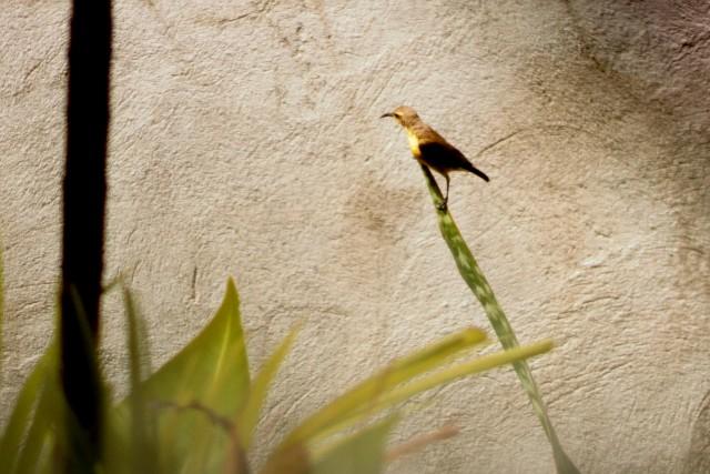 tamsi olive-backed sunbird photo by Julienne Mumar