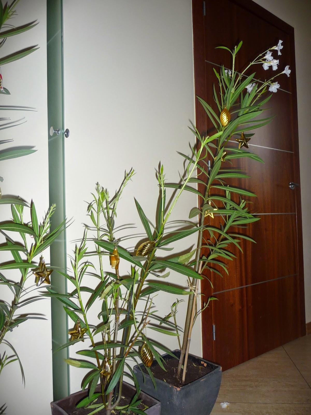 jak rozmnożyć oleander