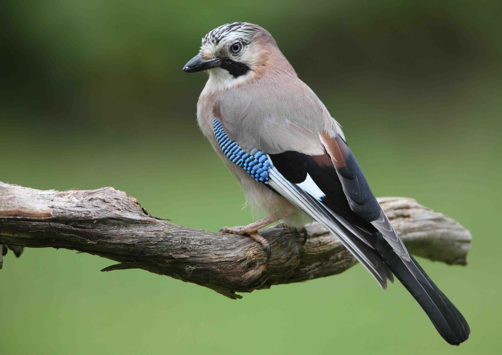 Eurasian Jay ~ Birds World