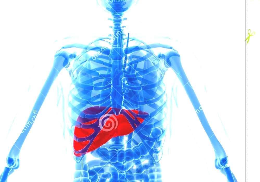 Liver Human Anatomy Liver