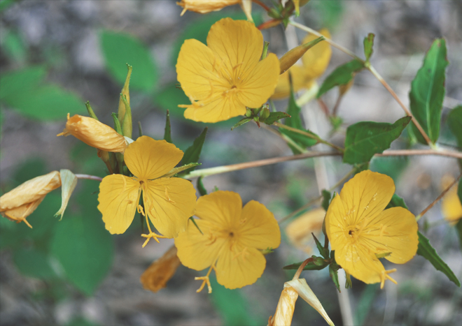 The Flying Clubhouse: Catchfly // evening primrose