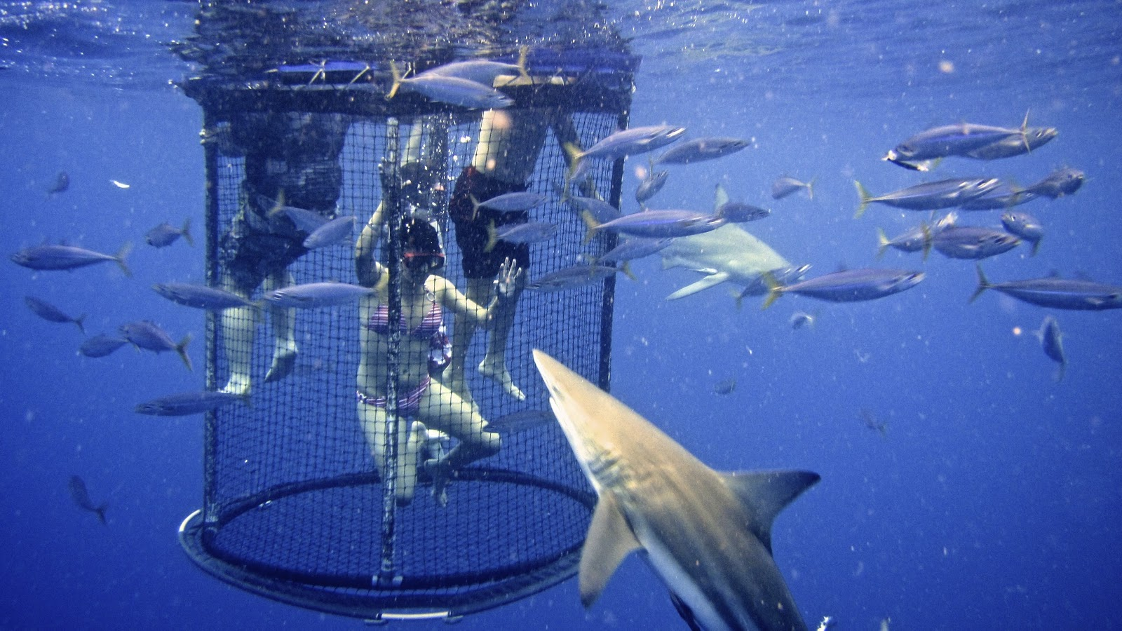 shark cage diving History of shark cage diving great white shark cage diving has, in recent years, become one of the most popular adventure activities amongst adrenalin junkies, divers & tourists.