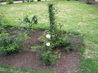 more roses at this garden. Landscape Uruguay flower.