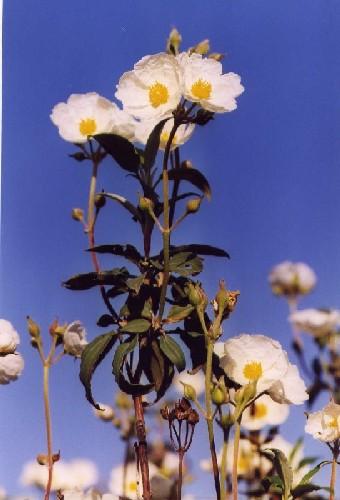 Plantas Medicinales, Recetas Caseras: +++ JARA +++