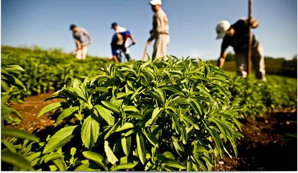 Stevia pemanis semulajadi penganti gula