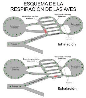 Esquema de la respiración de las aves - Fauna Iberica - Fauna Española - http://spanishfauna.blogspot.com.es