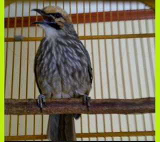 Tips Merawar Burung Cucakrowo Agar Cepat Gacor Dan Ngropel