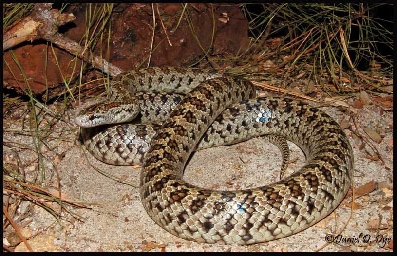 Non Poisonous Snakes Of Florida Phillip S Natural World