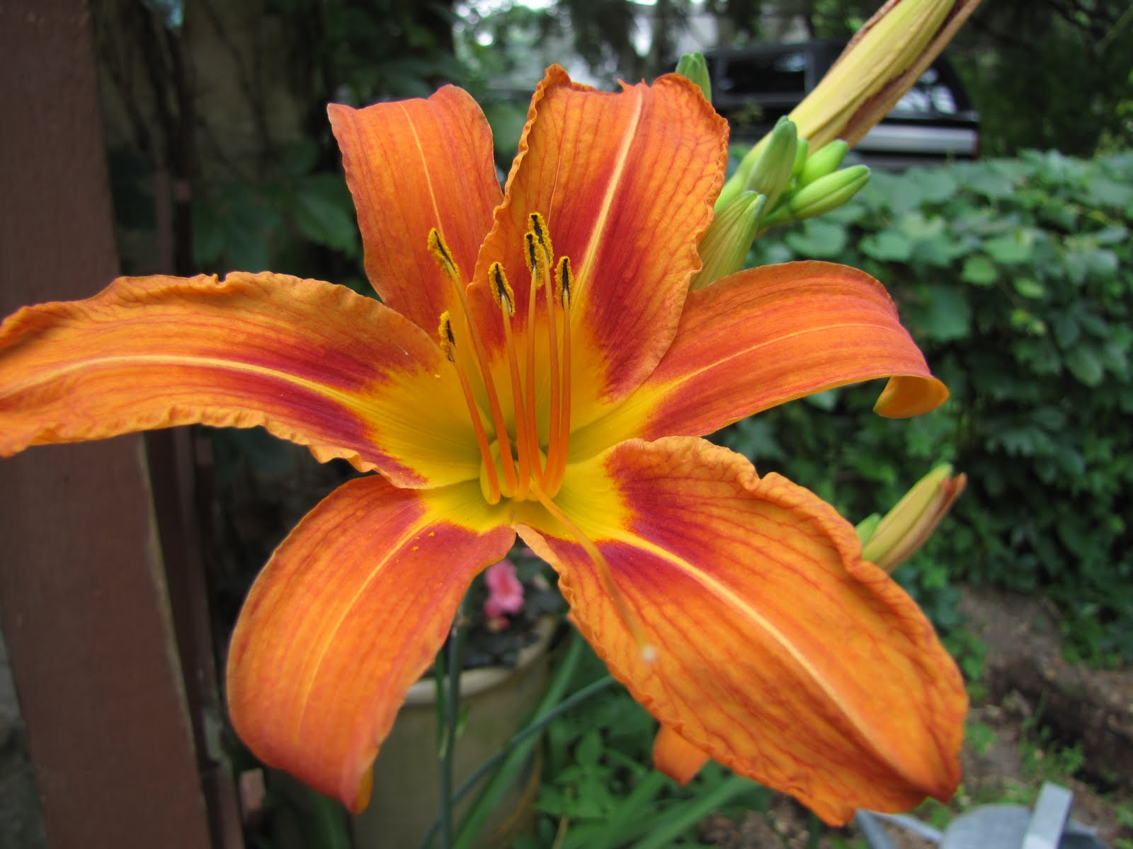 Tiger Lily Flower Beautiful Flowers
