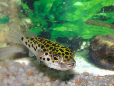 The Pufferfish Anatomy | FuguFisch