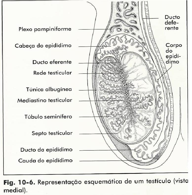Moderno Anatomía Del Testículo Y El Epidídimo Fotos - Imágenes de ...