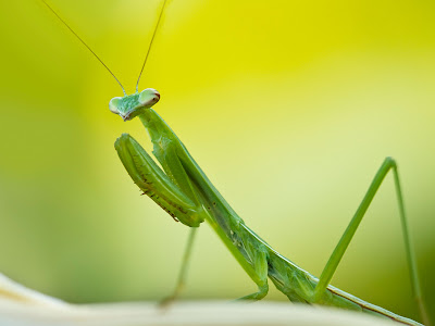 5 Praying%2BMantises %Category Photo