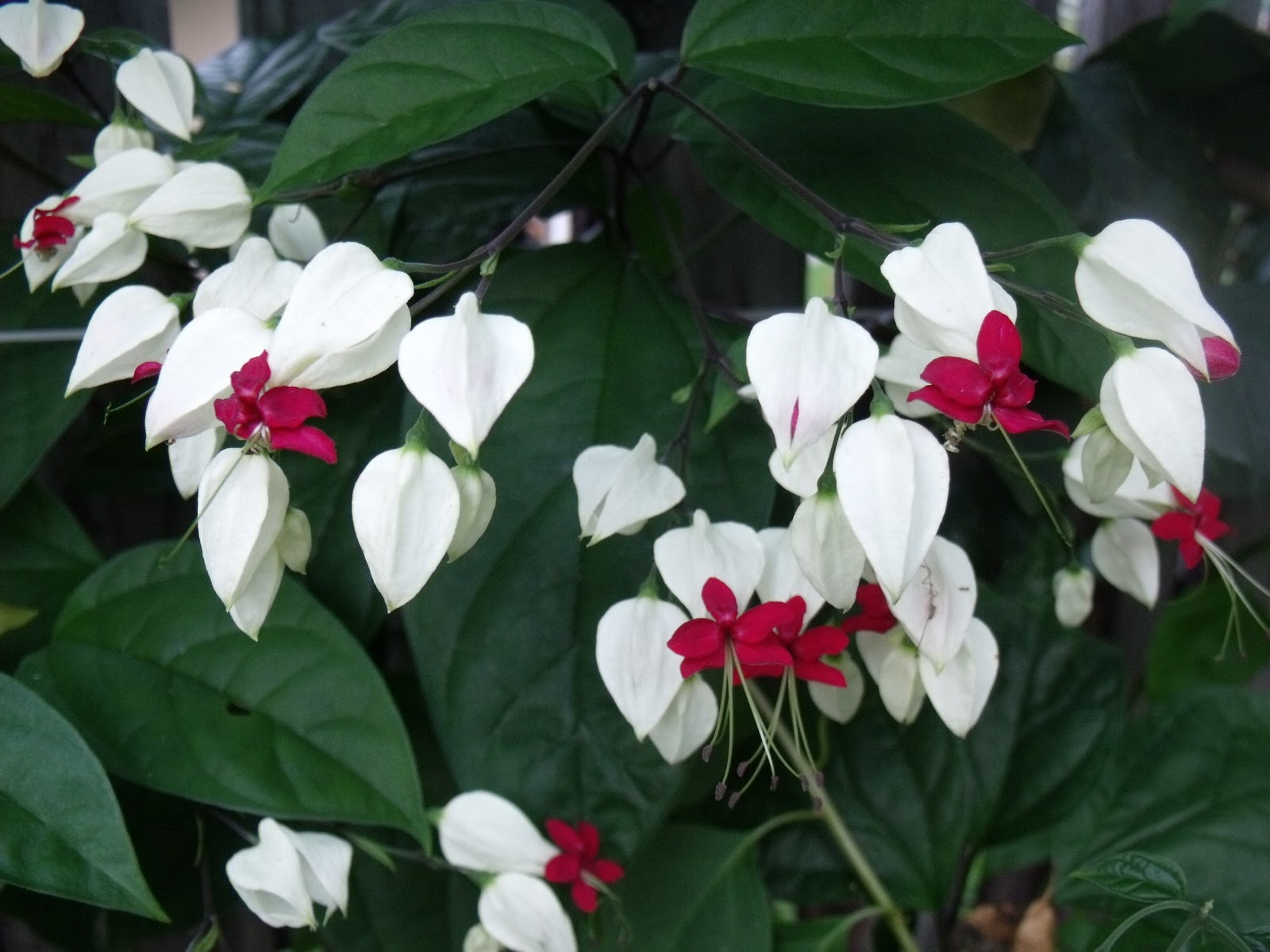 Folklore For Children The Bleeding Heart Flower