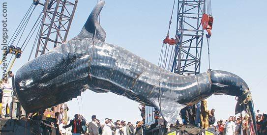 40-feet long dead shark found at Karachi, Pakistan sea shore Images ... Shark Species Chart