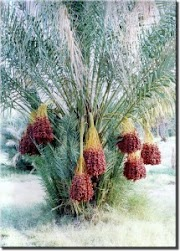 Healthy Benefits of Date Palm Fruit
