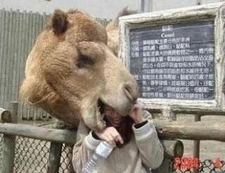 Camelo abocanha cabeça de homem