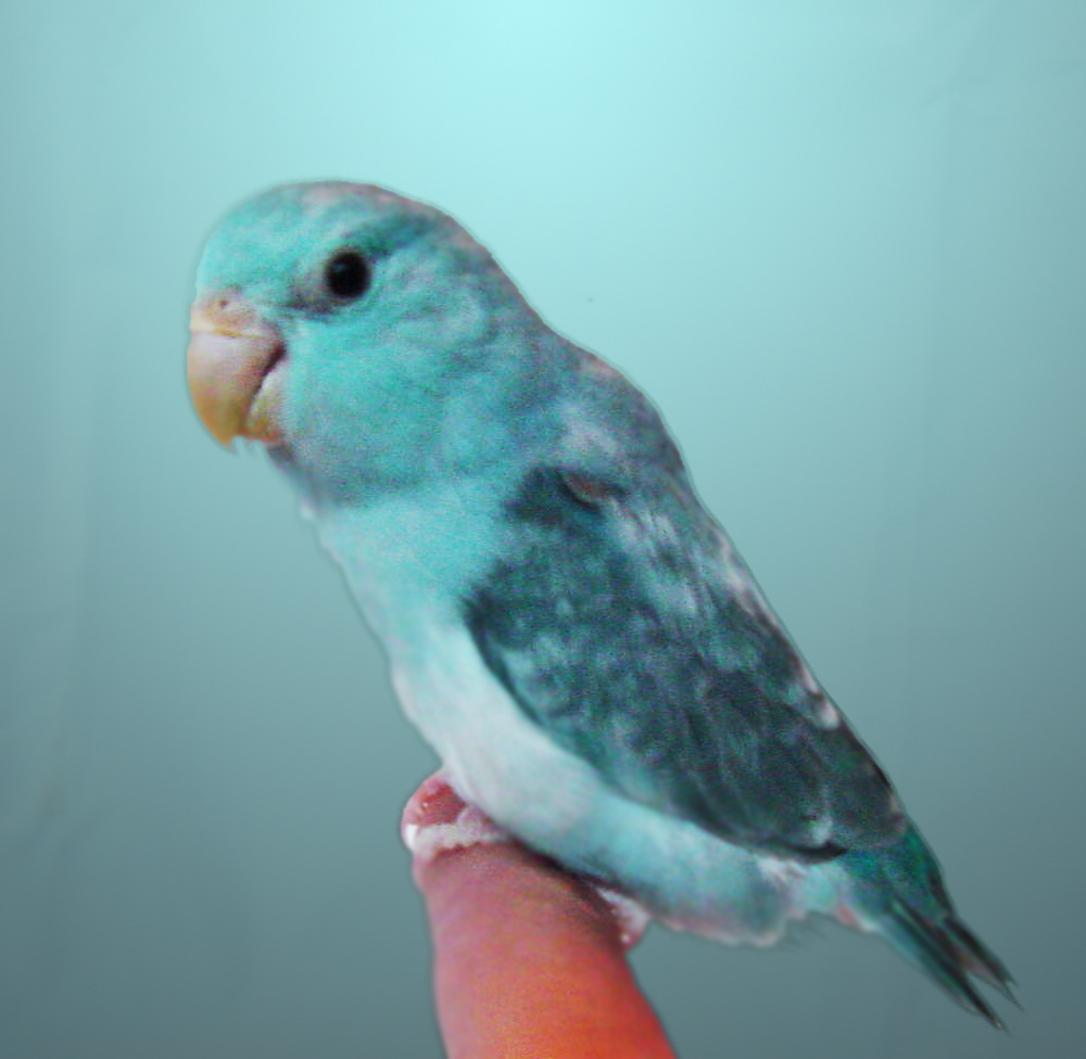 Hand Raising a Baby Lovebird A Personal Experience