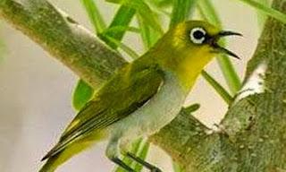 Pleci Gacor Buka Paruh Habitat Asli Burung Kacamata Yang Mulai Tren Di Kalangan Para Kicau Mania