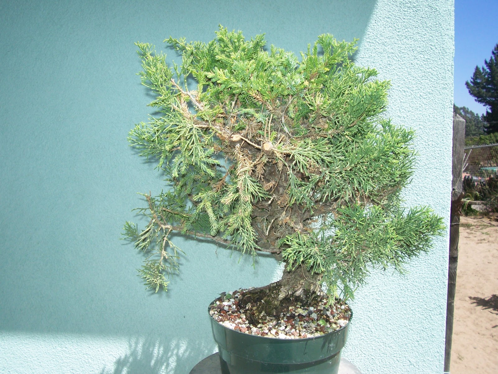 Wiring a San Jose Bonsai. Before and After   What\'s happening at ...