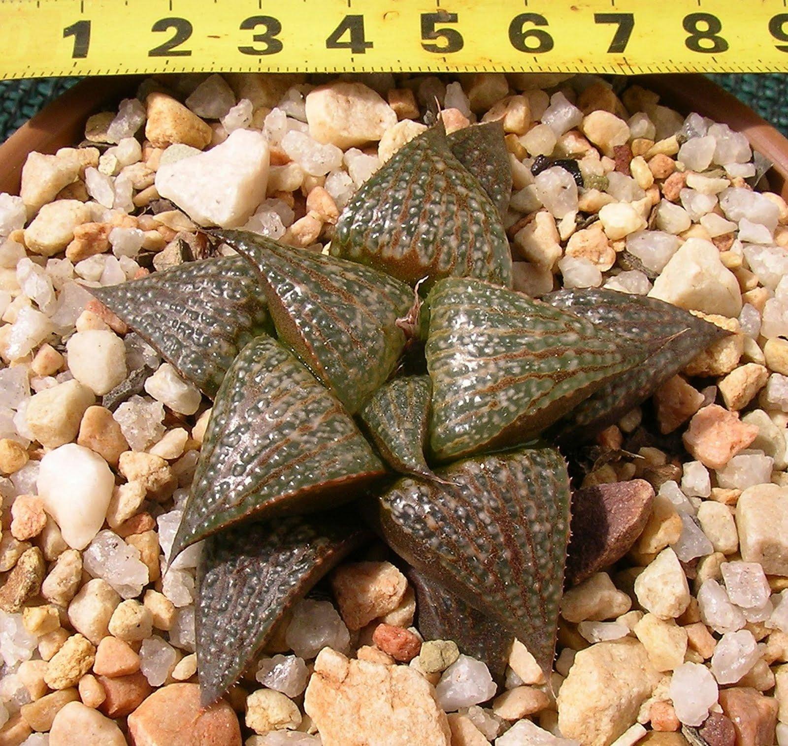 Haworthia badia X splendens