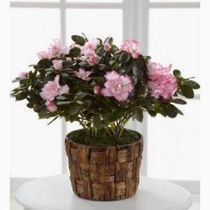 http://www.floristvancouver.com/shop/potted-azalea-plant/